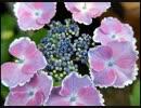 【ニコニコ動画】紫陽花2015を解析してみた