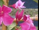 【ニコニコ動画】マンデビラはつるに咲く花です。を解析してみた