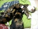 【ニコニコ動画】はじめての猫飼い92~( ゚∀゚)o彡°おっぱい!おっぱい!~を解析してみた