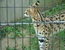 【ニコニコ動画】猫みたいな鳴き声のサーバル(多摩動物園)を解析してみた