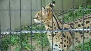 猫みたいな鳴き声のサーバル(多摩動物園)