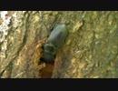 【ニコニコ動画】印旛沼のノコギリクワガタ・コクワガタ・カブトムシを解析してみた