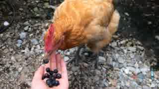 今年もニワトリにブルーべリーをあげる thumbnail