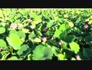 【ニコニコ動画】蓮の花①を解析してみた
