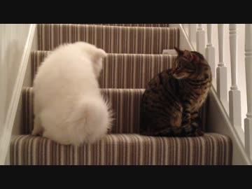 もふもふなサモエドが猫と友達になるまで