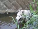 シベリアンハスキー 今日もまた川遊び