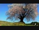 【癒し系】 大坪の一本桜② 【自然】