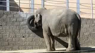 餌を食べに降りてくるスリランカゾウ(多摩動物園)