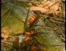 スズメバチ vs カマキリ
