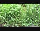 【癒し系BGM】 ツユクサとリアル雨音① 【自然音】
