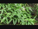 【癒し系BGM】 雨音と雫 日本庭園④ 【自然音】