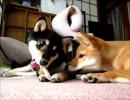 柴犬ゆずりょう、芋ほり初体験!(15年