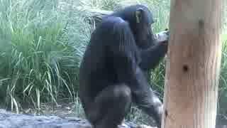 チンパンジーと自動販売機(多摩動物園)
