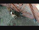 【Shiba】柴犬きなこ脱走の一部始終