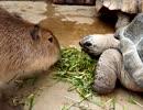 カピバラさんと亀仲良くエサたべてます。 thumbnail