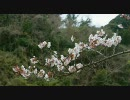 桜が咲いていたので走ってみた