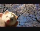 chula桜坂
