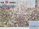 【桜前線便り】見事に根付いたヒガンザクラ[桜H28/3/30]
