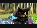 【旅猫】 あずきと竹林②