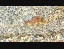 浜辺のヨコエビ