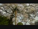 【桜満開】迎春フリームーブ【ラヴ】