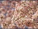 【ニコニコ動画】8分間、お花見しませんか?を解析してみた