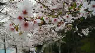 【桜百選】ヤマハのカブで桜満開、琵琶湖ツーリング【海津大崎】