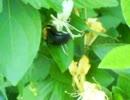 クマバチくん