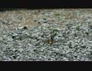 (閲覧注意)セミを食べるシジュウカラ