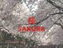 SAKURA 上野恩賜公園の桜並木