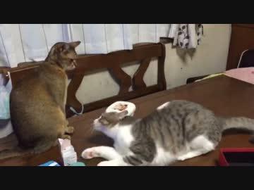 【駄々こ猫】構って!構って!!構ってよーー!!!!