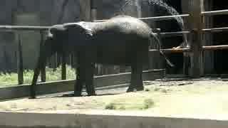 水浴びが大好きなアフリカゾウ(東武動物公園)