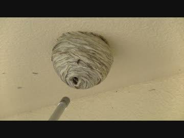 スズメバチの巣をつついてみた