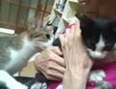 【スタンドで救助された子猫ピク】 家の猫たちとご対面(='x'=)