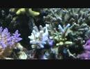 超浅場の海を作ろう!第42話 サンゴ白化(T-T) thumbnail