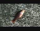 釣り動画ロマンを求めて 5釣目(熱海港海釣り施設:後半)