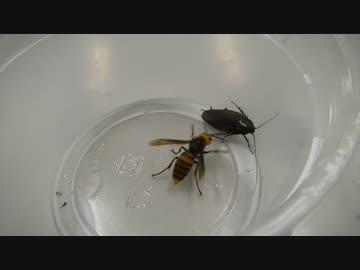 オオスズメバチ、ゴキを倒してくれ!