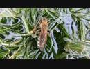 ハラナガツチバチの仲間(キンケ?)+高画質テスト