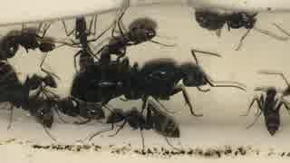 蟻戦争#80 アリ達の近況報告編