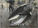 【葛城奈海・海幸山幸の詩 #21】調査捕鯨を続ける理由、つなげる鯨食文化[桜H28/11/23]