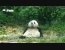 パンダがおふろに入るよ