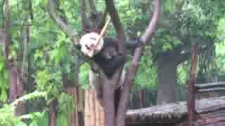 2016/05/22 奇福ママンは木の上でタケノコを食べたい