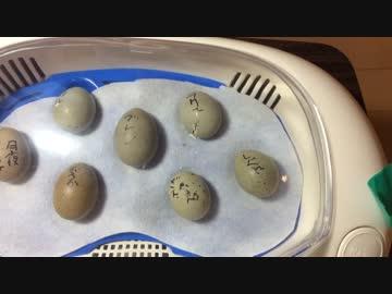 ひめうずら 卵 孵化