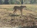 チーターとシマウマ 野生を感じる動物園(よこはま動物園ズーラシア)