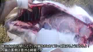 【狩猟】シカ&アナグマモツ抜きフィーバー 新米猟師ハンターライフ12