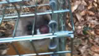 イタチ♀ 謎の鳥捕獲 鹿精肉とワンタ様ご実食 新米猟師ハンター13