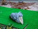 動かない鳥 ハシビロコウのフタバ 掛川花鳥園