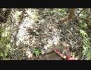 【閲覧注意】 猟犬日誌 猟師と猟犬の猪猟 Part30