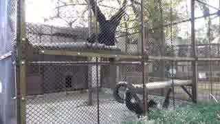 【池田動物園】 めっちゃ鳴くフクロテナガザル