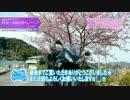Luxury Rider 051 Ninja650で行く 春が来た!河津桜と伊豆グルメツーリングPart.1